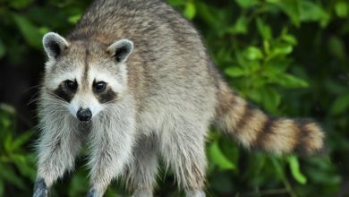Photo of Knowing When To Call Raccoon Control Services: Signs Of Infestation