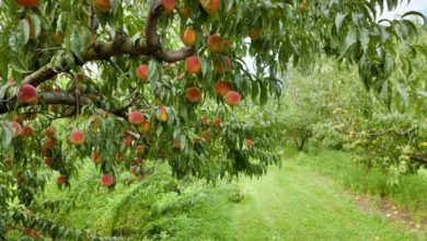 Photo of 5 Tips When Growing Sentinel Peach Tree