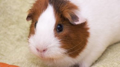 Photo of Types of the best bedding for guinea pigs
